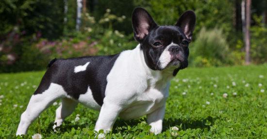 7c3c3ad7b Filhotes de Bulldog Francês em Curitiba
